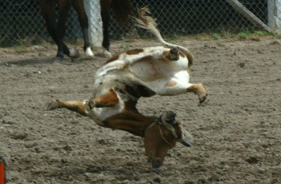 This horse was used in spite of an injury to its hoof. The blood ...